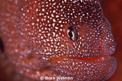 Starry Moray - Close Focus by Brian Welman 